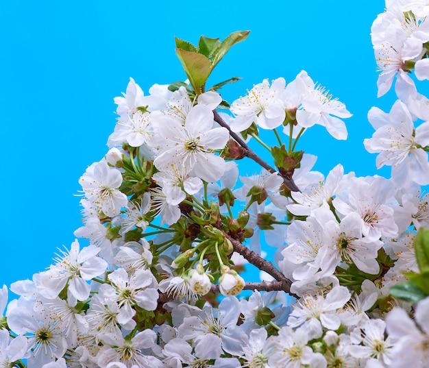 Ramas floreciendo cereza blanca