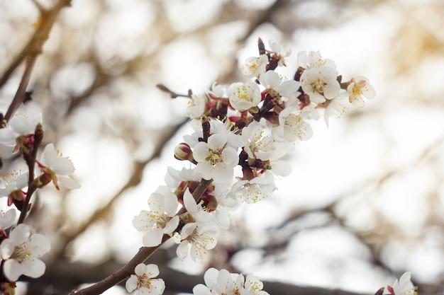 Ramas florecientes de cerezo en primavera, suave y soleado.