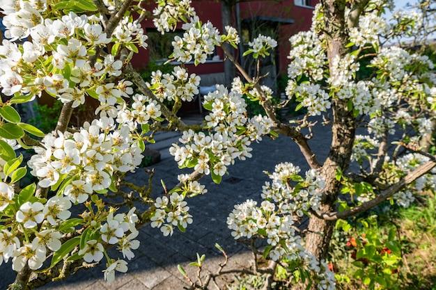 Ramas de flores de flor de manzano en los árboles en el patio