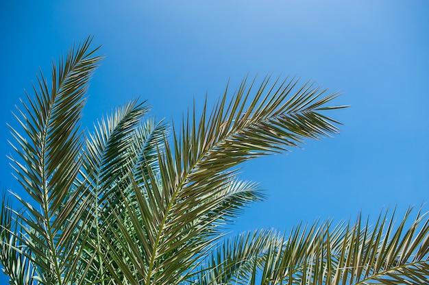 Ramas de palma contra el cielo azul.