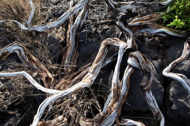 Ramas secas en la palma caldera de taburiente