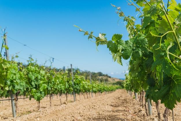 Ramas verdes jóvenes de uvas en el viñedo en primavera