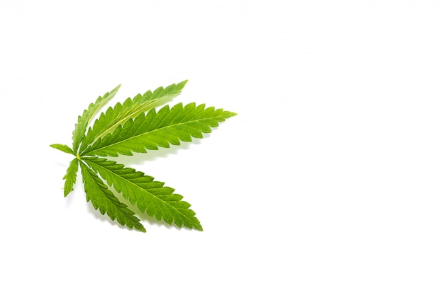 Ramita de cannabis verde, aislar, drogas ilegales.