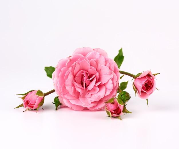 Ramita con un capullo de una rosa rosa en flor sobre un fondo blanco.