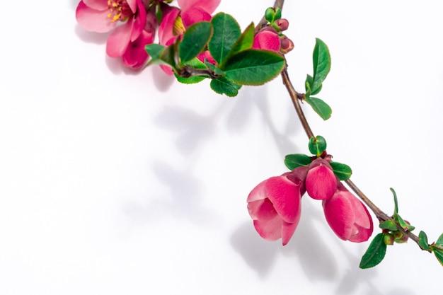 Ramita con flor rosa cereza ciruela sobre fondo blanco, espacio de copia.