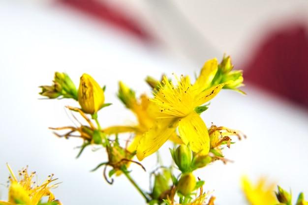Ramita de hypericum perforatum con flores para medicina alternativa