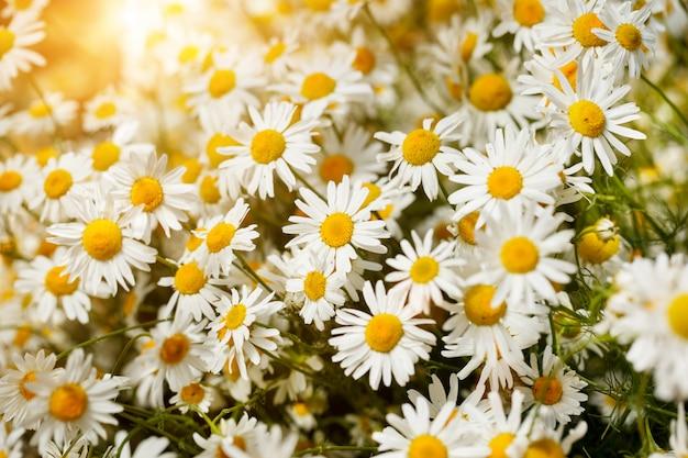 Ramo de camomiles a la luz del sol. mañana de verano fondo lindo natural.