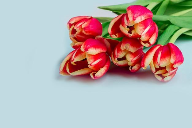 Ramo de cinco tulipanes rojos frescos en cierre azul del fondo para arriba.