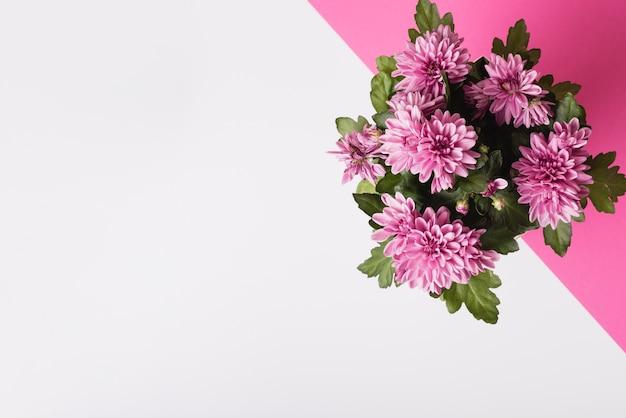 Ramo de flores de crisantemo sobre fondo blanco y rosa
