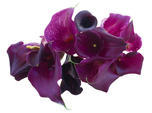 Ramo de flores frescas de calla lilly violeta aislado en blanco