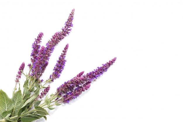 Ramo de flores silvestres de color púrpura sobre un fondo blanco, la concepción de las plantas medicinales.