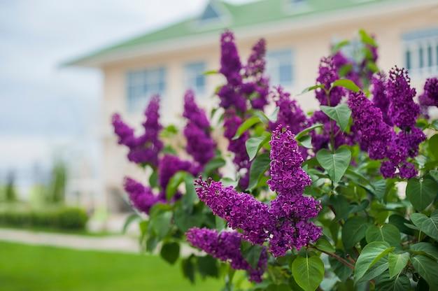 Ramo lila brillante, casa de arbusto de lila de primavera en el fondo