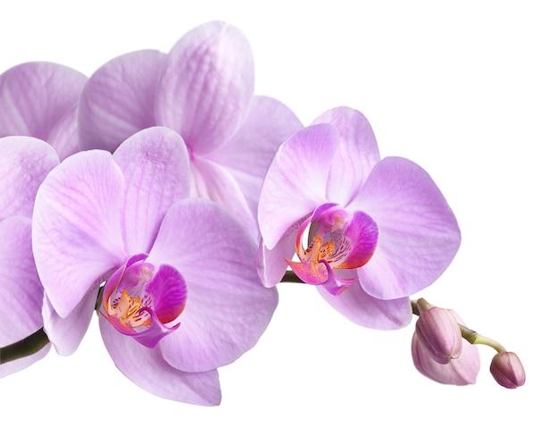 Ramo de orquídeas magentas está aislado en blanco