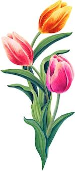 Ramo de tulipanes ilustración floral acuarela sobre fondo blanco.