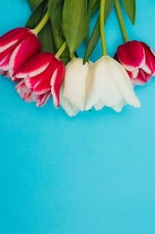Un ramo de tulipanes rosados y blancos sobre un fondo azul. un hermoso ramo festivo. postal para el 8 de marzo y san valentín.