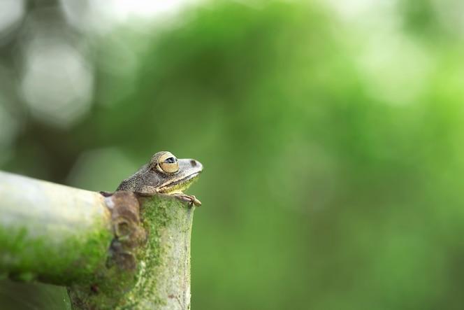 Rana arbórea común rana arbórea dorada en tubería de acero