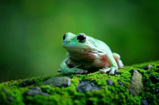Rana arbórea verde, rana rechoncha, papua rana arbórea verde