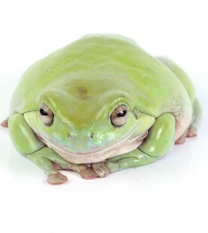 Rana arbórea verde