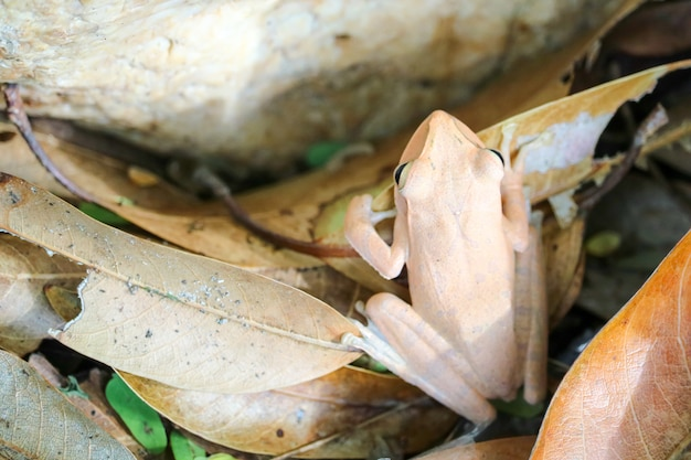 Rana arborícola esconde la parte superior de la piedra ajustando la piel.