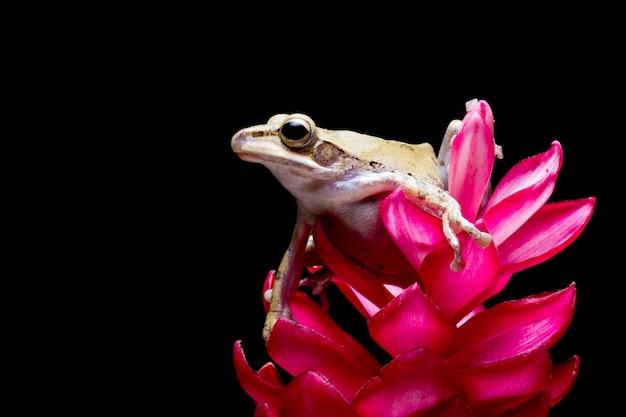 La rana arborícola rayada '' polypedates leucomystax '' en flor roja con fondo negro