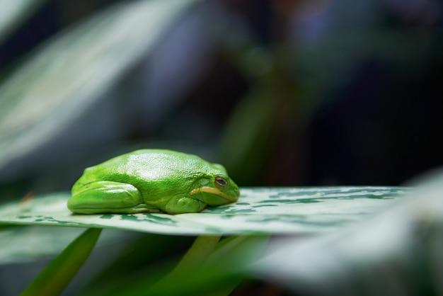 Rana arborícola verde