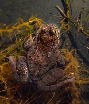 Rana común, rana temporaria, parte trasera de la rana vista desde arriba, sentada en un estanque de jardín en primavera, abril. noruega