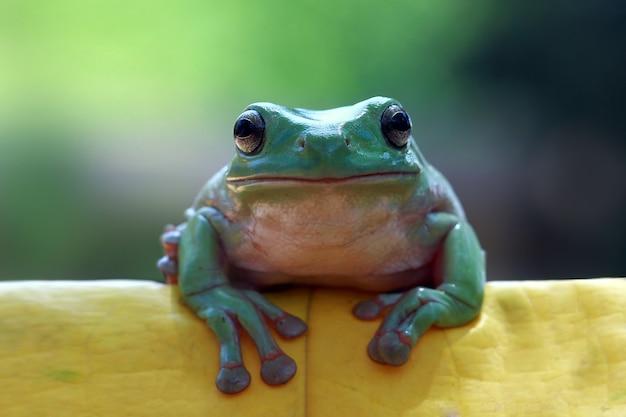 Rana regordeta sentada sobre hojas verdes