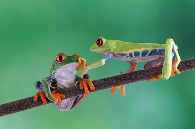 Ranas arborícolas de ojos rojos sentados en la rama