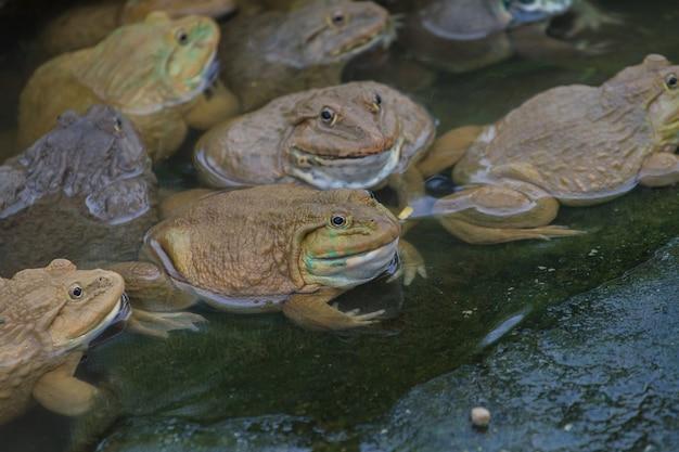 Las ranas se encuentran en un estanque en una granja de ranas en tailandia
