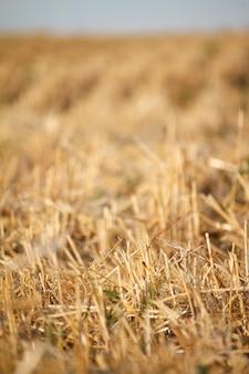 Un rastrojo dorado del campo de trigo segado contra un cielo azul, enfoque selectivo
