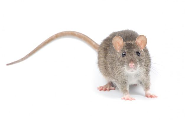 Rata aislada en blanco
