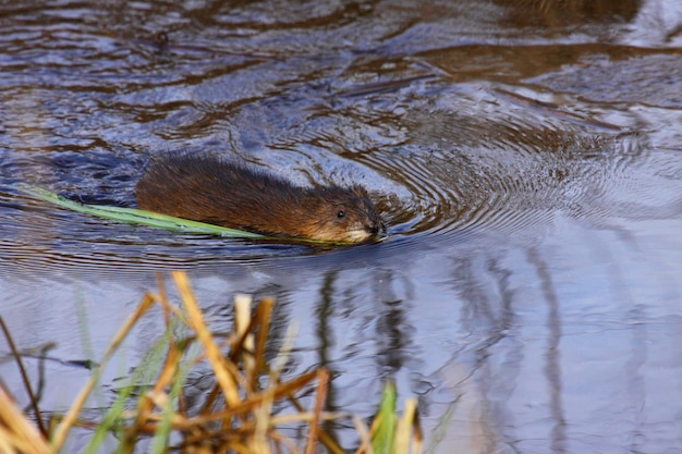 Rata almizclera nadando en el agua del pantano en primavera