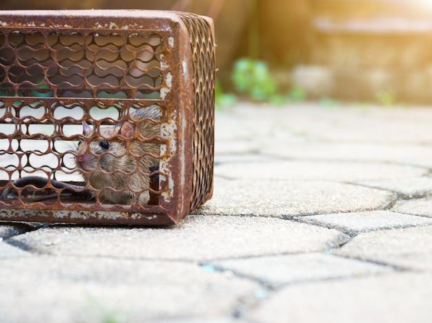 La rata está atrapada en una jaula trampa o trampa. la rata sucia contagia la enfermedad a los humanos