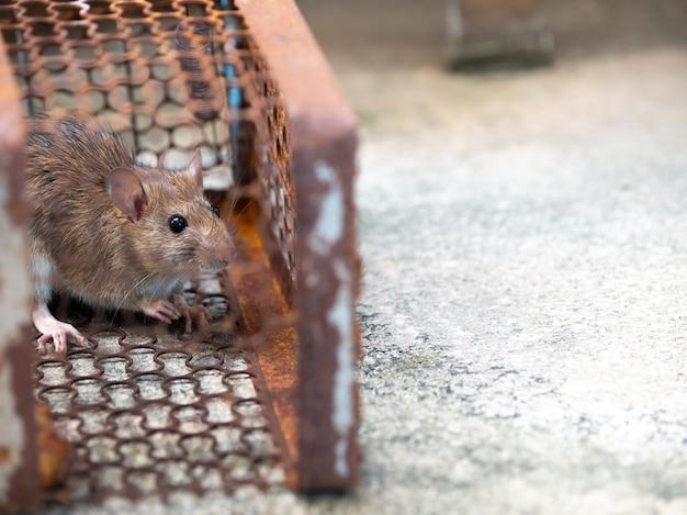 La rata está atrapada en una jaula de trampa o trampa.