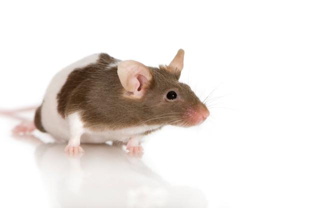 Rata bicolor en frente en una pared blanca
