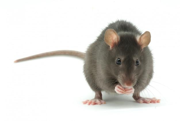 Rata en blanco aislado