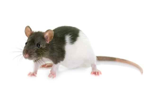 Rata blanco y negro