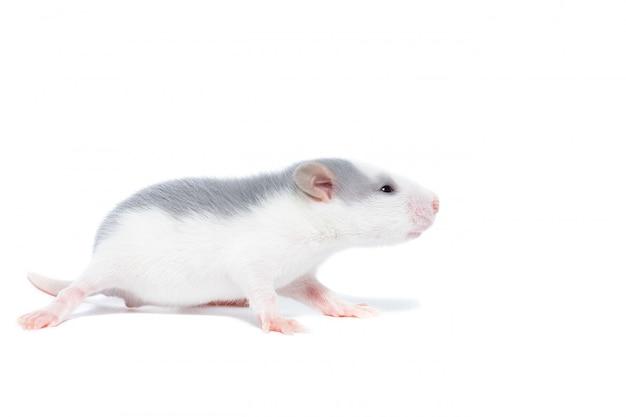 Rata en blanco