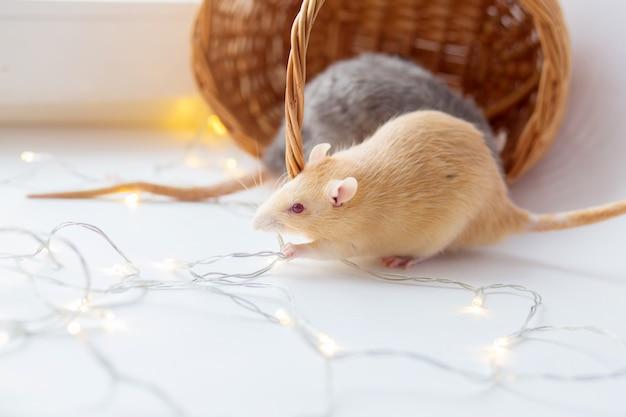 La rata decorativa roja con ojos rojos roe una guirnalda de abetos navideños