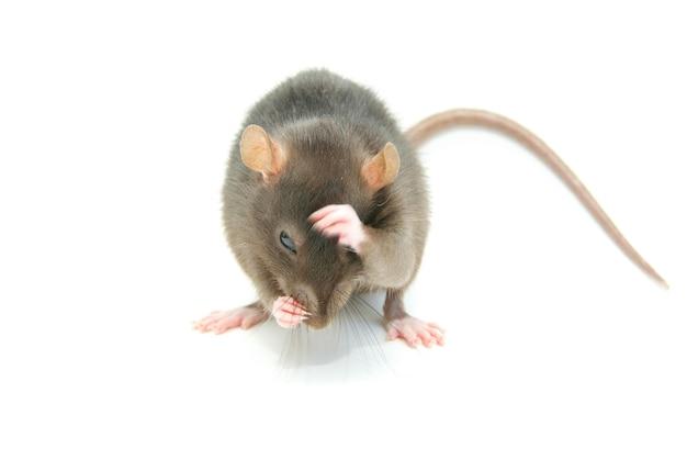Rata divertida aislada sobre superficie blanca
