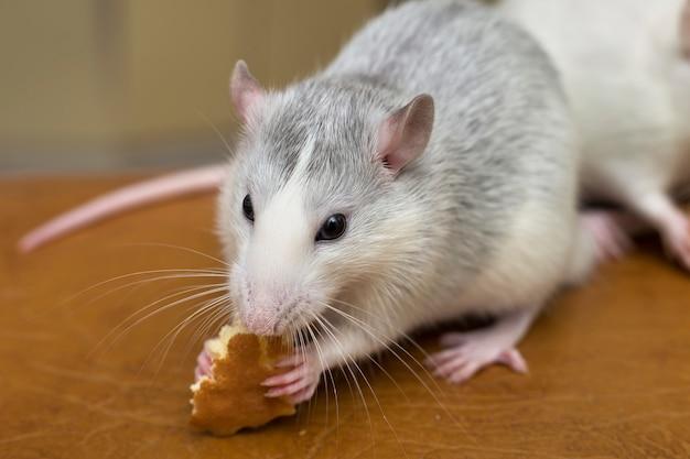 Rata doméstica blanca comiendo pan. animal de compañía en casa.