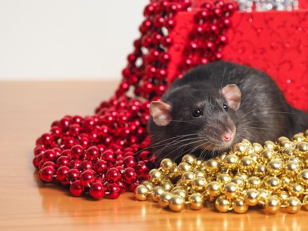 Rata dumbo delante de la caja con decoración de año nuevo, símbolo del año.