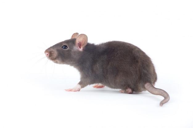 Rata gris aislada en la pared blanca