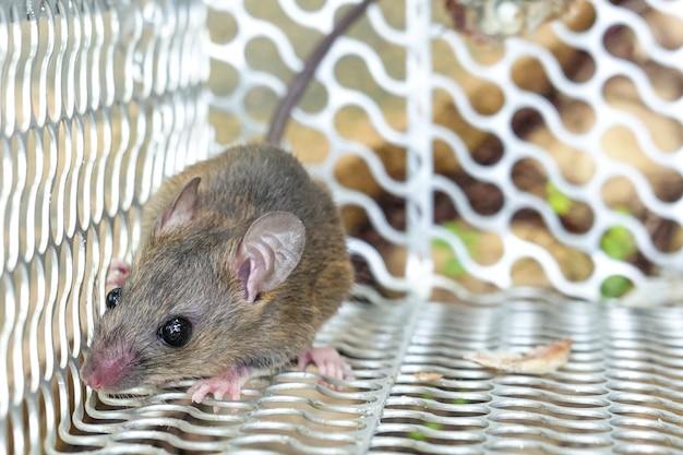 Rata en la jaula trampa para ratones atrapar en casa.