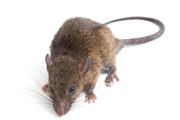 Rata marrón rattus rattus sobre fondo blanco.
