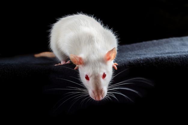 Rata mascota albino blanca con ojos rojos