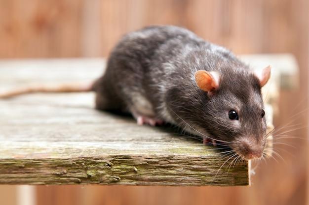 Rata mascota