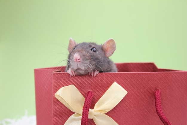 Una rata negra se asoma de una bolsa de regalo. el concepto del año de la rata.
