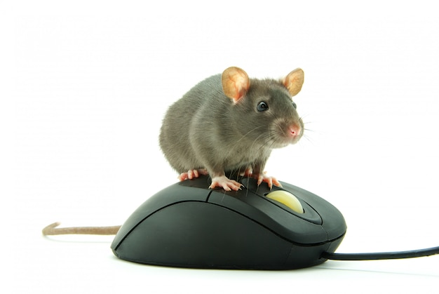 Rata en el ratón de la computadora