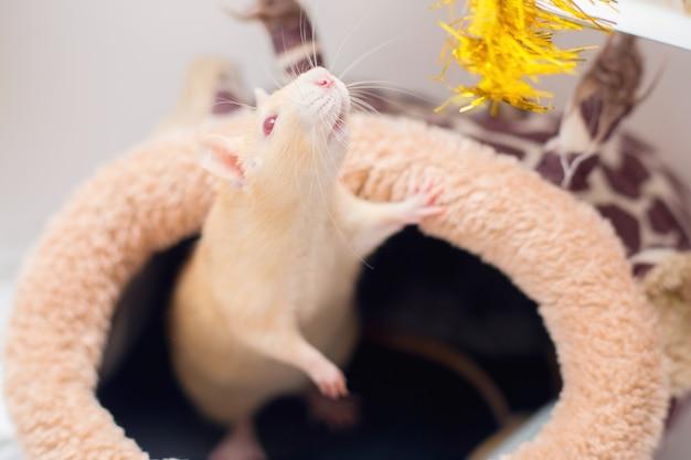 La rata roja decorativa doméstica con ojos rojos juega con oropel navideño.